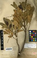 Holotype of Dysoxylum canalense (Baill.) C.DC. [family MELIACEAE]