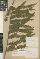 Type of Dryopteris asterothrix Rosenst. [family PTERIDOPHYTA]