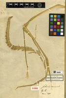 Holotype of Setaria cernua Kunth [family POACEAE]