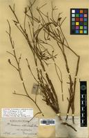 Isolectotype of Goodenia arthrotricha F.Muell. ex Benth. [family GOODENIACEAE]