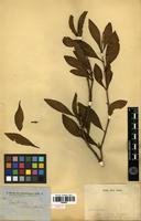 Type? of Psydrax attenuata (R.Br. ex Benth.) S.T.Reynolds & R.J.F.Hend. [family RUBIACEAE]