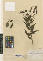 Isotype of Siphocampylus declinatus Rusby [family LOBELIACEAE]