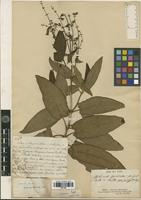 Holotype of Sphacele speciosa A.St.-Hil. ex Benth. [family LAMIACEAE]