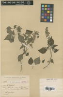 Isotype of Salvia fusca Epling [family LAMIACEAE]