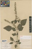 Isotype of Salvia jaliscana Briquet [family LAMIACEAE]