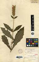 Isotype of Aphelandra rusbyi Britton [family ACANTHACEAE]