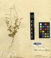 Type of Cleome linearis Stocks ex T.Anderson [family CAPPARIDACEAE]