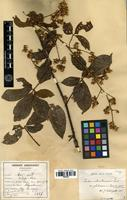 Syntype of Rubus cochinchinensis Tratt. var. glabrescens Cardot [family ROSACEAE]