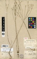 Isotype of Linum rupestre (A.Gray) Engelm. ex A.Gray [family LINACEAE]
