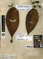 Holotype of Clusia candelabrum Planch. & Triana [family CLUSIACEAE]