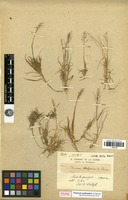 Type of Isachne perrieri A.Camus [family POACEAE]