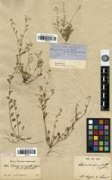 Syntype of Vesicaria recurvata Engelm. ex A.Gray [family BRASSICACEAE]