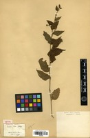 Isotype of Pavonia sepium A.St.-Hil. [family MALVACEAE]