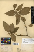 Isotype of Malpighia mexicana A.Juss. subsp. guadalajarensis (S.Watson) F.K.Mey. [family MALPIGHIACEAE]