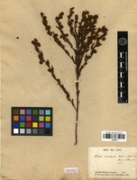 Isotype of Acacia crassistipula Benth. [family FABACEAE]
