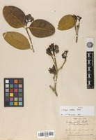 Type of Rudgea erioloba Benth. [family RUBIACEAE]