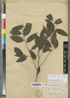 Isotype of Unona lecardii Guillaumin [family ANNONACEAE]