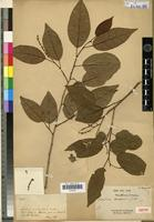 Isotype of Antidesma messianianum Guillaumin [family EUPHORBIACEAE]