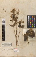 Holotype of Eupatorium pazcuarense Kunth [family ASTERACEAE]