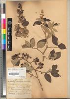 Type of Rubus fellatae A. Chev. [family ROSACEAE]