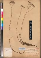 Holotype of Vernonia catatii Drake [family ASTERACEAE]