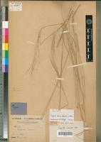 Holotype of Eragrostis sudanica A.Chev. [family POACEAE]