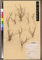 Isotype of Oryza perrieri A.Camus [family POACEAE]