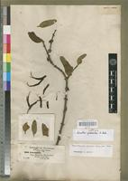 Isosyntype of Loranthus gibbosulus A. Rich. [family LORANTHACEAE]
