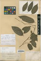 Isotype of Meiogyne philippinensis Elmer [family ANNONACEAE]