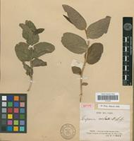 Isotype of Caperonia cordata A.St-Hil. [family EUPHORBIACEAE]