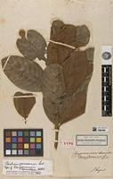 Holotype of Campomanesia tomentosa Kunth [family MYRTACEAE]