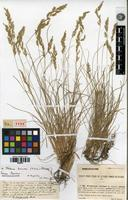 Isolectotype of Festuca ovina L. subvar. hervieri St.-Yves [family POACEAE]