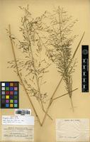 Isotype of Eragrostis deflexa Hitchc. [family POACEAE]
