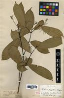 Isotype of Tontelea laxiflora (Benth.) A.C.Sm. [family CELASTRACEAE]