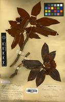 Holotype of Rhododendron bureavii Franch. [family ERICACEAE]