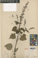 Isotype of Salvia martensii Galeotti [family LAMIACEAE]