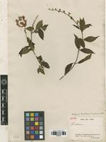 Isotype of Scutellaria lindeniana Benth. [family LAMIACEAE]