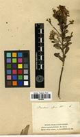 Syntype of Baccharis affinis DC. [family ASTERACEAE]