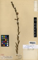 Type of Oenothera propinqua Spach [family ONAGRACEAE]