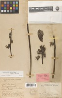 Holotype of Mezoneuron keo Gagnep. [family FABACEAE]