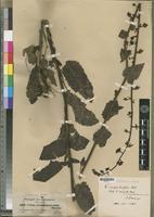 Isotype of Celsia scrophulariaefolia Hochst. [family SCROPHULARIACEAE]