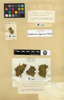 Isotype of Microthamnium byssicormum Müll. Hal. [family HYPNACEAE]