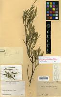 Holotype of Alyxia dolioliflora Guillaumin [family APOCYNACEAE]