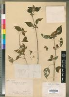 Holotype of Justicia foveolata Benoist [family ACANTHACEAE]