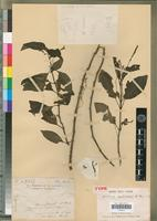 Holotype of Justicia mediocris Benoist [family ACANTHACEAE]