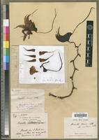 Holotype of Aeranthes henrici Schltr. var. isaloensis H.Perrier [family ORCHIDACEAE]