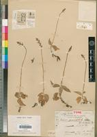 Holotype of Zeuxine gymnochiloides Schltr. [family ORCHIDACEAE]