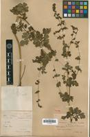 Holotype of Thalictrum atriplex Fin. & Gagnep. [family RANUNCULACEAE]