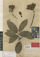 Holotype of Magnolia biondii Pampan. [family MAGNOLIACEAE]
