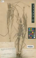 Type of Andropogon humbertii A.Camus [family POACEAE]